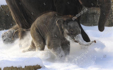 A Five-month Old Baby Elephant 'Felix' Romps Around in the Snow Beside His Mother Califa at the Zoo in Hanover Germany 21 December 2010 Germany Hanover