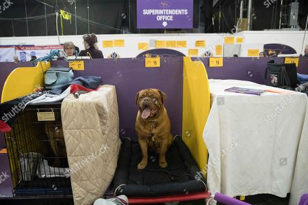 Humphrey Bogart, a dogue de Bordeaux, is seen in the benching area during the 141st Westminster Kennel Club Dog Show, in New York