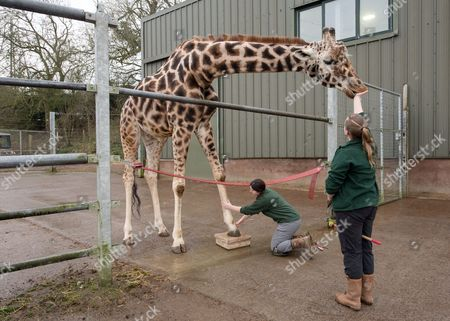 Stock Image of Giraffe Gerald gets a pedicure from Senior Giraffe Keeper Emma Green while being entertained by Giraffe Keeper Laura Burgess