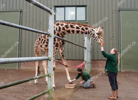 Editorial image of Giraffe gets a pedicure at Noah's Ark Zoo Farm, Wraxall, Somerset, UK - 15 Feb 2017
