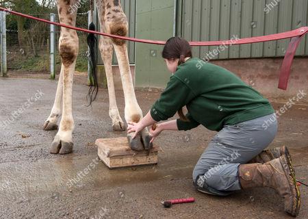 Giraffe Gerald gets a pedicure from Senior Giraffe Keeper Emma Green