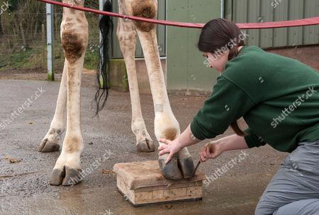 Stock Photo of Giraffe Gerald gets a pedicure from Senior Giraffe Keeper Emma Green