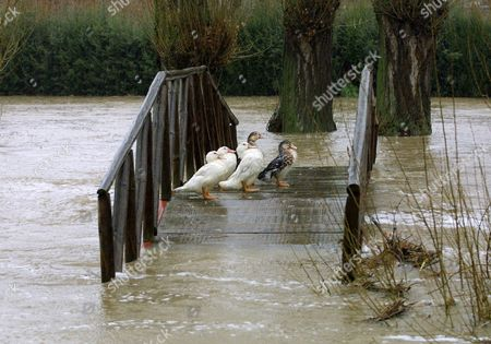 Av01 - 20030225 - Avila Spain: a Pack of Ducks Found Refuge on a Wooden Bridge Which is Almost Flooded by the Adaja River in Avila Central Spain Tuesday 25 February 2003 the Recent Heavy Rainfalls Caused the Overflooding of the Rivers Chico and in the Avila Province Epa Photo Efe / David Castro Barreiro Spain Avila