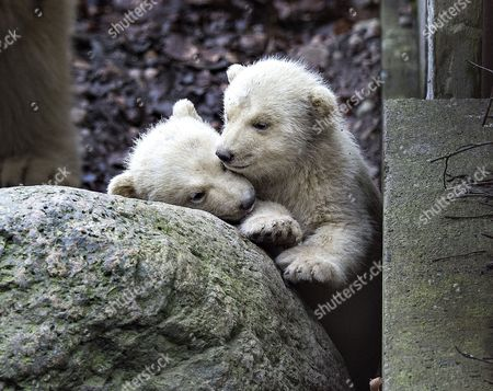 Stock Image of Polarbear cubs in Aalborg Zoo in Denmark, 22 February 2017. Today the cubs came out of their birthcave accompanied by their mother Malik for the first time since they were born on 26 November, back then they only weighed 500 grams each.