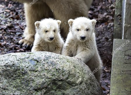 Stock Photo of Polarbear cubs in Aalborg Zoo in Denmark, 22 February 2017. Today the cubs came out of their birthcave accompanied by their mother Malik for the first time since they were born on 26 November, back then they only weighed 500 grams each.