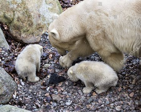 Polarbear cubs in Aalborg Zoo in Denmark, 22 February 2017. Today the cubs came out of their birthcave accompanied by their mother Malik for the first time since they were born on 26 November, back then they only weighed 500 grams each.