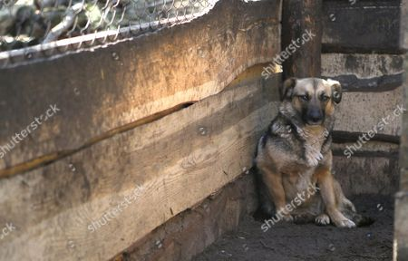 A Dog Sits in the 'Sirius' Animal Protection Shelter in Tolokun Village Some 80 Km From Kiev Ukraine 11 April 2012 Germany Princess Maja Von Hohenzollern Arrived in Ukraine to Deliver Two Field Kitchens to a Local Animal Protection Shelter and to Draw Attention to an Allegedly Ongoing Government Programme to Destroy Stray Dogs in Connection with the Euro 2012 Football Championship Ukraine Kiev