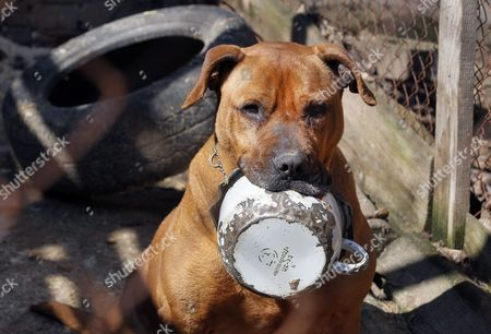 A Dog Holds His Meal Dish in the 'Sirius' Animal Protection Shelter in Tolokun Village Some 80 Km From Kiev Ukraine 11 April 2012 Germany Princess Maja Von Hohenzollern Arrived in Ukraine to Deliver Two Field Kitchens to a Local Animal Protection Shelter and to Draw Attention to an Allegedly Ongoing Government Programme to Destroy Stray Dogs in Connection with the Euro 2012 Football Championship Ukraine Kiev