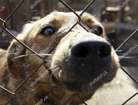 A Dog Looks Through a Lattice in the 'Sirius' Animal Protection Shelter in Tolokun Village Some 80 Km From of Kiev Ukraine 11 April 2012 Germany Princess Maja Von Hohenzollern Arrived in Ukraine to Deliver Two Field Kitchens to a Local Animal Protection Shelter and to Draw Attention to an Allegedly Ongoing Government Programme to Destroy Stray Dogs in Connection with the Euro 2012 Football Championship Ukraine Kiev