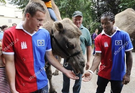 Hamburg Sv's Tom Mickel (l) and Ze Roberto (r) Feed A Camel at the Hagenbeck Zoo As Part of the Hamburg Social Affairs Commitment Project