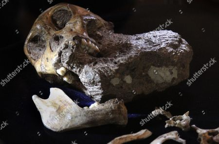 Part of a Fossilized Skeleton of Australopithcus Sediba is Displayed at the University of the Witwatersrand in Johannesburg South Africa 08 September 2011 Us Professor Lee Berger and His Nine-year-old Son Matthew Discovered the Fossils at a Site at Malapa North of Johannesburg in 2008 a Close Examination of Two Partial Fossilized Skeletons of a Sediba Suggests These Creatures who Roamed the Earth Some 1 9 Million Years Ago Were Crafting Tools Even Earlier and Could Be the First Direct Ancestor of the Homo (human) Species Based on the Most Complete Hand Specimen Ever Found a Sediba Had an Extra-long Thumb and Powerful Fingers Which It Could Have Used to Make Tools Despite Still Having a Small Ape-like Brain Suggested Findings by Berger's Team Published in the Journal Science South Africa Johannesburg
