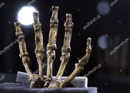 The Hand of a Fossilized Skeleton of Australopithcus Sediba is Displayed at the University of the Witwatersrand in Johannesburg South Africa 08 September 2011 Us Professor Lee Berger and His Nine-year-old Son Matthew Discovered the Fossils at a Site at Malapa North of Johannesburg in 2008 a Close Examination of Two Partial Fossilized Skeletons of a Sediba Suggests These Creatures who Roamed the Earth Some 1 9 Million Years Ago Were Crafting Tools Even Earlier and Could Be the First Direct Ancestor of the Homo (human) Species Based on the Most Complete Hand Specimen Ever Found a Sediba Had an Extra-long Thumb and Powerful Fingers Which It Could Have Used to Make Tools Despite Still Having a Small Ape-like Brain Suggested Findings by Berger's Team Published in the Journal Science South Africa Johannesburg