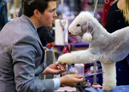 Stock Picture of This photo shows Jordan Confer, from Sierra Vista, Ariz. grooms Summer a one year old Bedlington Terrier prior to competing at the Annual Kennel Club of Beverly Hills Dog Show at Pomona Fairplex in Pomona, Calif. AP Photo/Richard Vogel