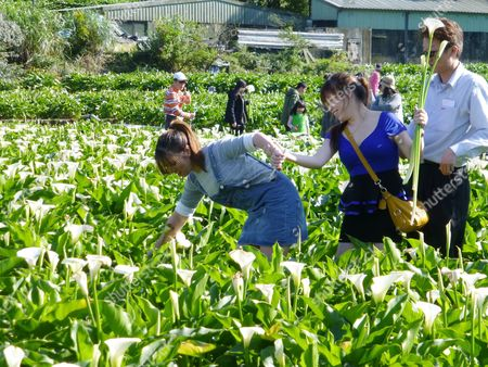 Stock Image of Tourist pick Calla lilies during the 2017 Calla Lily Festival on Yangmingshan hill in Taipei, Taiwan, 03 April 2017. Calla lily is called Hai Yu in Taiwan and Ma Ti Lian in China. A graceful plant with usually a white flower, Calla lily grows in a field with shallow water and is often sold as cut flower or potted flower.