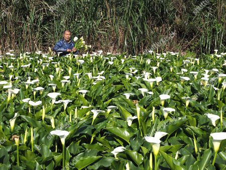 Stock Photo of A tourist picks Calla lilies during the 2017 Calla Lily Festival on Yangmingshan hill in Taipei, Taiwan, 03 April 2017. Calla lily is called Hai Yu in Taiwan and Ma Ti Lian in China. A graceful plant with usually a white flower, Calla lily grows in a field with shallow water and is often sold as cut flower or potted flower.