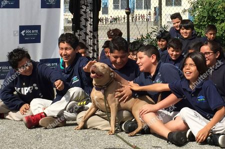 """A pit bull named """"Lucy"""" is pet by school children as part of the U.S. Postal Service """"National Dog Bite Prevention Week,"""" during an awareness event at the YMCA in Los Angeles . Dog attacks on postal workers rose last year to 6,755, up 206 from the previous year and the highest in three decades, as internet shopping booms and consumers increasingly demand seven-day-a-week package delivery and groceries dropped at their doorstep. Los Angeles topped the 2016 list with 80 attacks on postal workers, followed by Houston with 62 and Cleveland with 60"""