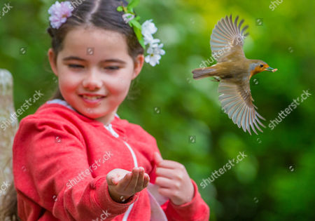 Editorial photo of Friendly Robin feeds from the hand of 8 Year old Emily Rose, Royal Victoria Park, Bath, UK - 17 Apr 2017