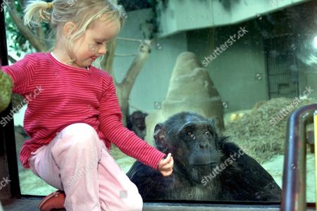 Copenhagen Denmark: One of Six Chimpanzees who Inherited 500 000 Danish Kroner (about 60 200 Dollars) Are Being Photographed Together with a Little Girl on Wednesday August 23 2000 in the Copenhagen Zoo the Chimpanzees Inherited the Money From an 83-year-old Danish Woman who Had No Living Relatives in Her Will Elsbeth Elfriede Christensen Donated the Money to the Animal Park with a Specific Requirement That the Money Benefit the Zoo's Chimpanzees Christensen Included the Apes in Her Will in Memory of Her Daughter who Suffered an Undisclosed Fatal Illness 50 Years Ago and Spent Her Last Weeks Visiting the Chimps at the Zoo Every Day the Money Will Be Used For Improvements and Modernization of the Chimpanzees Compaund the Six Monkeys Are Called Jimmy Trunte Fifi Trine Grinni and Gigi (denmark Out) Epa Photo Scanpix Nordfoto/keld Navntoft Denmark Copenhagen