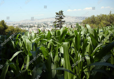 Stock Photo of Corns and other plants are planted in the garden named 'The Theater of Disappearance' which is a major site-specific installation by Argentinian artist Adrian Villar Rojas, commissioned and organized by NEON, around the National Observatory of Athens, Greece, 01 June 2017 (issued 02 June 2017). This commission sees him negotiating with an archaeological site for the first time as he radically alters both the indoor and outdoor space of the National Observatory.