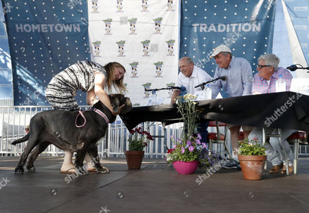 Martha, and her owner Shirley Zindler, on stage with the judges (L to R) Brian Sobel, Kerry Sanders, and Paige Braddock, in Petaluma, California, USA, 23 June 2017. Martha is a three-year-old 125 pound (about 56.7kg) Neapolitan Mastiff from Sebastopol California. She was in chronic pain and nearly blind from a long neglected eye condition. After several surgeries, she regained much of her sight and is now pain free for the first time in her life. The winner will receive 1,500 US dollar and will fly to New York, New York to appear on TV.