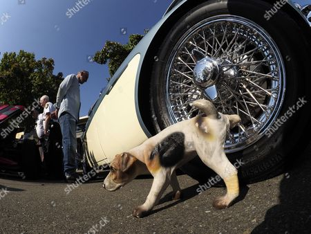 A prop model of a dog urinates on a 1964 Austin-Healey 3000 MK III convertible during the 23rd annual Hot Summer Nights: Hot Rod & Classic Car Show in Danville, California, USA, 10 August 2017.