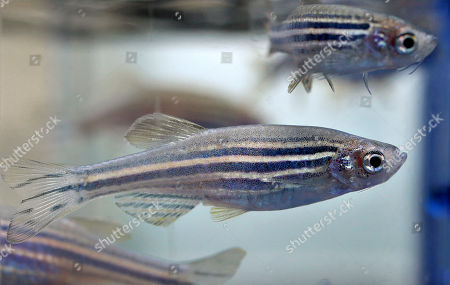 Zebrafish swim in a container at a laboratory at Boston Children's Hospital, in Boston. The lab has about 300,00 zebrafish at the location which are used in stem cell research. Democratic Gov. Deval Patrick pushed through a $1 billion, 10-year life sciences initiative that helped pay for the stem cell program at the hospital