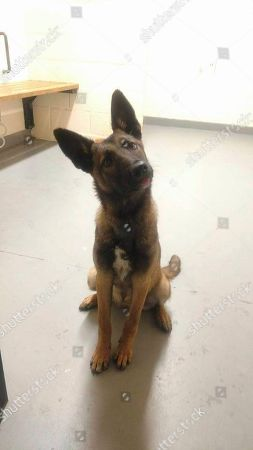 In this photo, a German Shepherd is seen after it was rescued by the New Jersey State Police on a highway in Newark. Police said they had to coax the dog to leave a dead pit bull that it was found lying next to