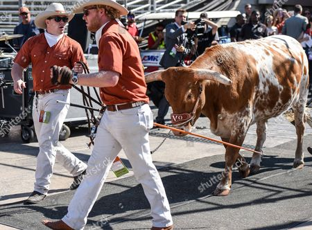Texas Longhorn mascot heads for the field prior to the Red River Showdown NCAA Football game between the University of Oklahoma Sooners and the University of Texas Longhorns at the Cotton Bowl Stadium in Dallas, TX Michael Dorn/CSM