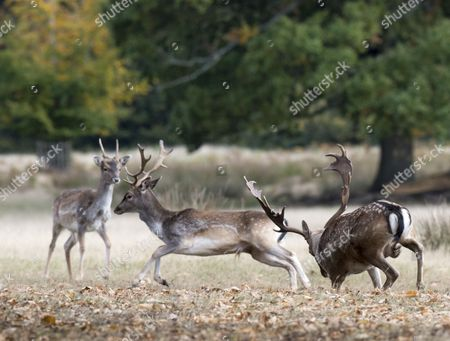 Editorial image of Harry Mount Joins A Group Of Enthusiasts On A 'deer At Dawn' Walk At Knole House In Kent To Observe The Deer During The Rutting Season. Picture David Parker 19/10/2016.