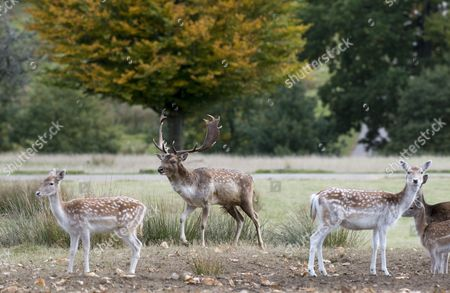 Editorial photo of Harry Mount Joins A Group Of Enthusiasts On A 'deer At Dawn' Walk At Knole House In Kent To Observe The Deer During The Rutting Season. Picture David Parker 19/10/2016.