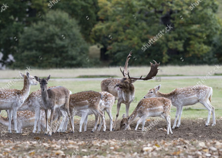 Stock Photo of Harry Mount Joins A Group Of Enthusiasts On A 'deer At Dawn' Walk At Knole House In Kent To Observe The Deer During The Rutting Season. 19/10/2016.