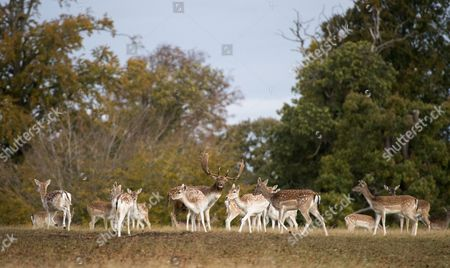 Stock Picture of Harry Mount Joins A Group Of Enthusiasts On A 'deer At Dawn' Walk At Knole House In Kent To Observe The Deer During The Rutting Season. 19/10/2016.