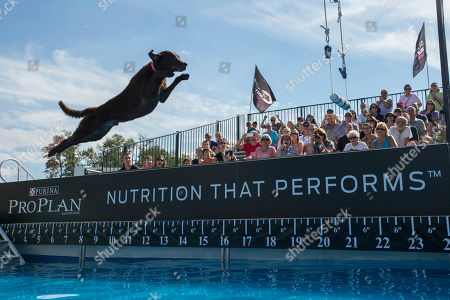 Cowboy, a 5-year-old Chesapeake Bay Retriever trained by Jason Kidd of PawPaw, Mich., competes in the fetch it! competition at the Purina Pro Plan Incredible Dog Challenge on at Purina Farms in Gray Summit, Mo