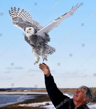 Stock Image of Norman Smith, director of Mass Audubon's Blue Hills Trailside Museum, releases a snowy owl along the shore of Duxbury Beach in Duxbury, Mass. The owl is one of 14 trapped so far this winter at Boston's Logan Airport and moved to the beach on Cape Cod Bay. The large white raptors from the Arctic have descended on the northern U.S. in huge numbers in recent weeks, giving researchers opportunities to study them