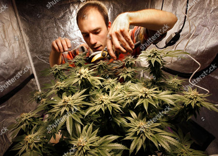 """James MacWilliams prunes a marijuana plant that he is growing indoors in Portland, Maine. """"I figure, I've got all this pot, I might as well just give it away for Christmas,"""" said MacWilliams, who started growing weed when it became legal and is giving away fancy jars of his stash this year. """"I told my friends, you're all getting a little bit of pot for Christmas"""