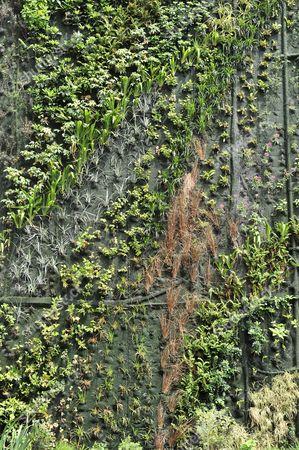 Athenaeum hotel living wall. London, England, Britain.