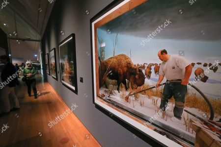 The artwork 'Man with Buffalo' of artist Richard Barnes is displayed for public at the 'Diorama, Inventing Illusion' exhibition at Schirn gallery in Frankfurt am Main, Germany, 17 January 2018.