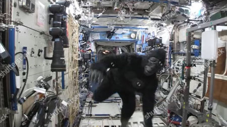 In this image from video made available by NASA, astronaut Scott Kelly wears a gorilla costume in the International Space Station. The suit was a gift from his identical twin brother, former astronaut Mark Kelly. On Tuesday, March 1, 2016, Scott Kelly and Russian cosmonaut Mikhail Kornienko will return to earth after being in space for 340 consecutive days