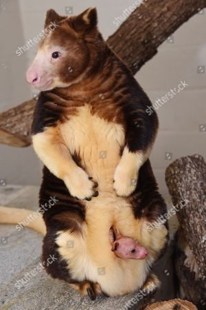 Editorial image of Tree Kangaroo Baby, Miami, USA - 1 Oct 2015