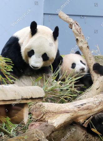 Female giant panda cub Xiang Xiang (R) is close beside hedr mother Shin Shin