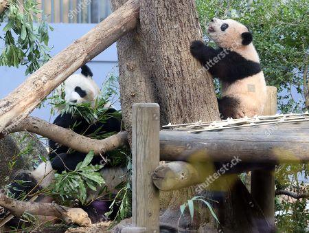 Female giant panda cub Xiang Xiang climbs a tree while her mother Shin Shin eats bamboo trees