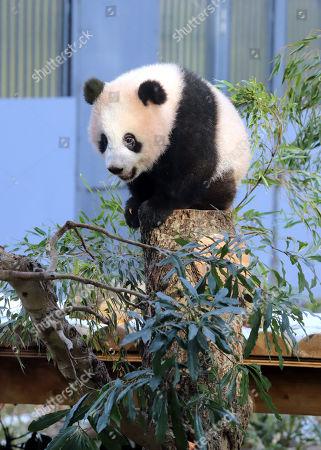 Female giant panda cub Xiang Xiang sits on a tree
