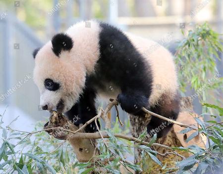 Female giant panda cub Xiang Xiang plays on a tree