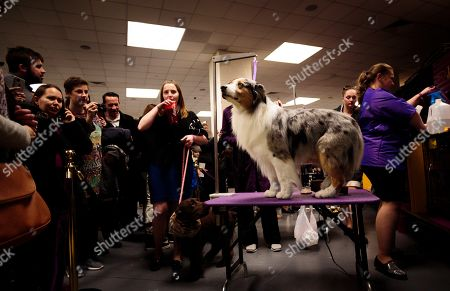 An Australian Shepherd named 'Sheldon' is photographed backstage before the start of the 2018 Westminster Kennel Club Dog Show at Madison Square Garden in New York, New York, USA, 13 February 2018. The annual competition features hundreds of dogs from around the country.