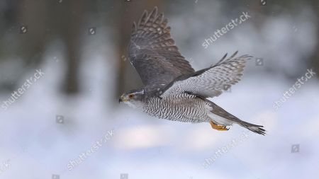 Northern goshawk (Accipiter gentilis), adult male, flying in a spruce forest, winter, Bohemian Forest, Czech Republic