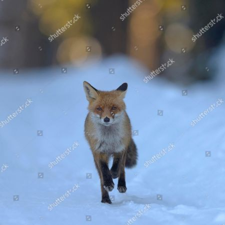 Red fox (Vulpes vulpes), running on snow, forest road, morning light, Bohemian Forest, Czech Republic