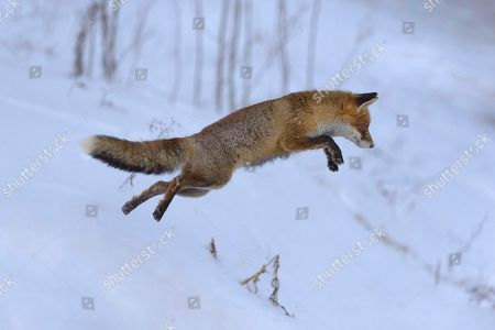 Red fox (Vulpes vulpes), hunting, jumping in the snow, Bohemian Forest, Czech Republic