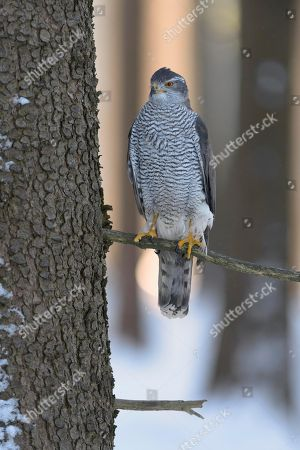 Northern goshawk (Accipiter gentilis), adult male, perched on a spruce tree, morning light, Bohemian Forest, Czech Republic