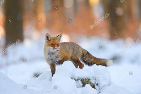 Red fox (Vulpes vulpes) standing on a snow-covered tree trunk, sunset light, Bohemian Forest, Czech Republic