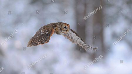 Tawny owl (Strix aluco) flying through snowy winter forest, Bohemian Forest, Czech Republic